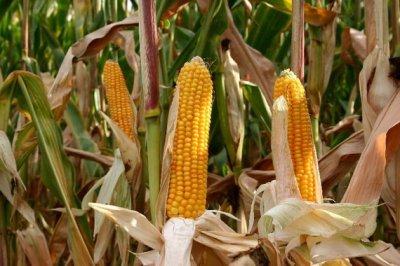 Присяжнюк: в Україні буде забагато кукурудзи