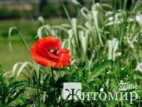 73-річну бабцю можуть посадити за вирощування маку