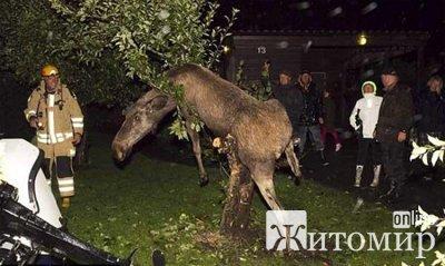 П'яний лось застряг на дереві.ФОТО.