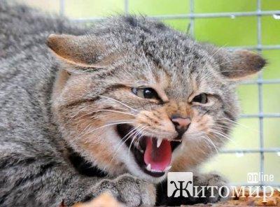 На Житомирщині виявили скаженого кота