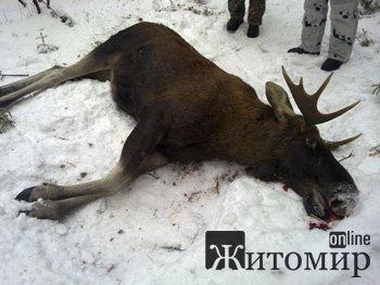 В Баранівці браконьєри застрелили лося