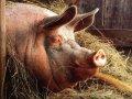 За новорічні свята житомиряни з'їдають 40-денну норму м'яса