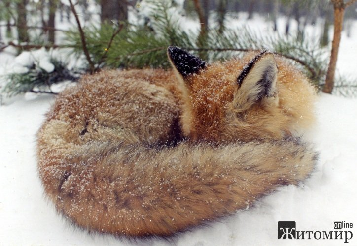 На радість мисливцям: на Житомирщині зростає кількість хижих тварин. ФОТО