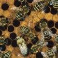 На Житомирщині загадково мруть бджоли