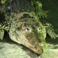 Малайзійський шаман вбив крокодила заклинанням і ляпанцем по голові