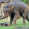 П'ять годин ціле село в Індії намагалось вгамувати скаженого слона