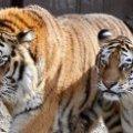 В німецькому зоопарку тигр загриз жінку