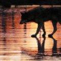 У Сімферополі скажений чорний пес за два дні покусав 7 людей