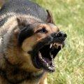 На Житомирщині хворий на сказ собака покусав 11-річну дівчинку