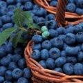 В Житомирской области перекупщики угрожают сборщикам ягод. Люди напуганы и обратились в милицию
