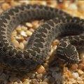 На Житомирщині змія напала на жінку в лісі