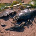 З 15 липня у Житомирській області заборонено ловити раків