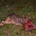В Овручском районе бешеный волк искусал половину жителей села