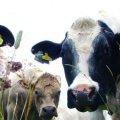 Польща заплатить 4 млн євро штрафу за понаднормове постачання молока на ринок ЄС