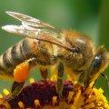 Пасічникам Житомирської області, які мають не менше 20 бджолосімей, обіцяють дешевий цукор