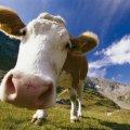На Житомирщині рятувальники вилучили корову із відстійника