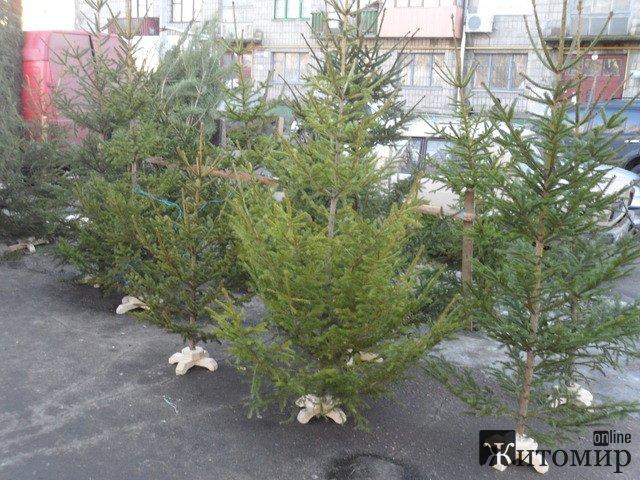 Скільки коштують новорічні ялинки у Житомирі. ФОТО