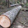 В Коростишеві робітника на смерть придавило дерево