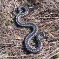 На Житомирщині зареєстрували випадок укусу людини змією у цьому році