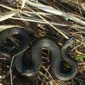 В Олевському районі хлопчика вкусила змія, коли він грався на подвір'ї
