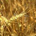 На Житомирщині вже намолочено понад 266 тисяч тонн зерна