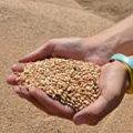 На Житомирщині планують завершити збирання ранніх зернових 11 серпня
