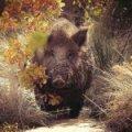 У Житомирській області браконьєри сплатили мисливському господарству 10 тис. грн. збитків за вбитого кабана