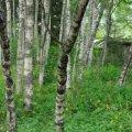 На Житомирщині ростуть «царські» дерева