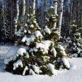 73 тис. сосен та 140 тис. ялинок можуть реалізувати населенню цього року лісгоспи Житомирщини
