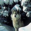 С февраля в Житомирской области начинается сезон охоты на хищников