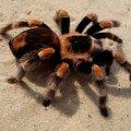 Австралийский город заполонили 25 тысяч тарантулов