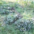 Пенсіонерка з Любарщини вирощувала на городі 500 рослин маку