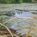 В річці Хомора на Житомирщині зафіксували масову загибель риби