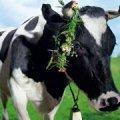 У господарствах Житомирщини утримується понад 190 тисяч великої рогатої худоби