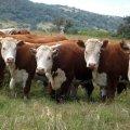 В Житомирській області у господарствах нарахували майже 200 тис. голів худоби