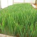 Житомирянин радить цибулю на перо садити у жовтні