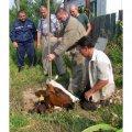 На Житомирщині рятувальники звільни корову, яка впала в каналізаційний колодязь
