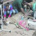 В зоопарке под Киевом тяжело заболели гепарды