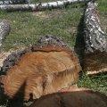 Через газопровід у селі на Житомирщині вирізали 100 дерев