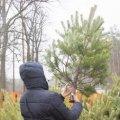 Майже 50 тисяч новорічних ялинок реалізували лісівники Житомирщини