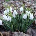 У Житомирі штрафуватимуть за продаж перших весняних квітів