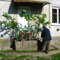 На Трійцю біля хати повинні бути гілки клена, берези, дуба і горобини
