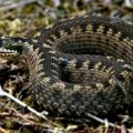 Як захиститися від змій і що робити при укусах