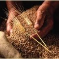 На Житомирщині цьогоріч урожайність зернових становить 36,7 центнерів з гектару