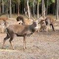 В Баранівському районі троє людей доглядають понад 30 оленів