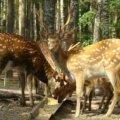 У Баранівському лісництві утримують майже 40 плямиститх оленів