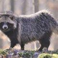З початку року у Житомирській області виявили хворих на сказ лисиць, собак та єнота