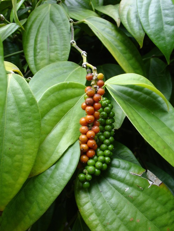 Як насправді ростуть екзотичні фрукти і овочі! ФОТО