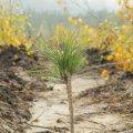 У Народицькому районі на 4 га лісу висадили 800 клонованих сосен