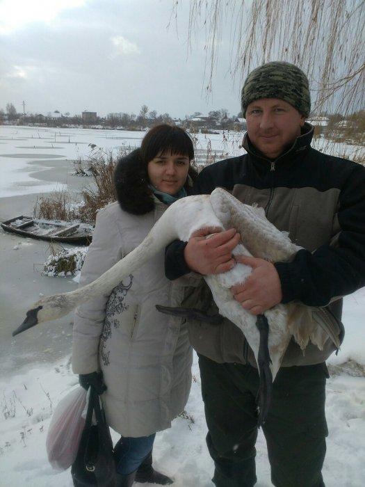 У Любарі врятували лебедя, який замерзав серед річки